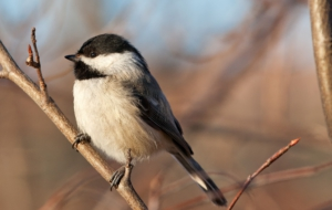 Chickadee For Desktop Background