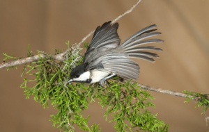 Chickadee Full HD