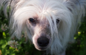 Chinese Crested Dog Background
