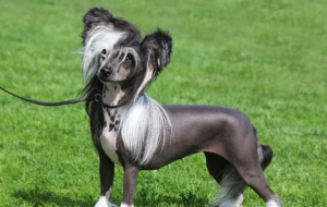 Chinese Crested Dog Computer Backgrounds