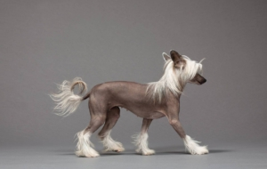 Chinese Crested Dog Computer Wallpaper