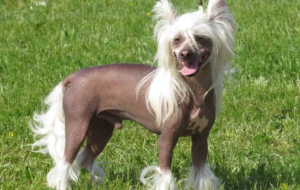 Chinese Crested Dog Desktop