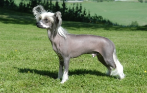 Chinese Crested Dog Desktop Images