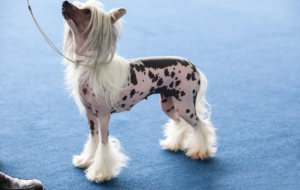Chinese Crested Dog HD