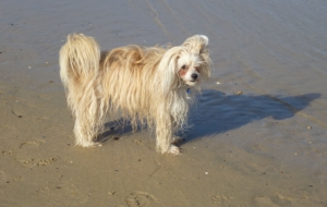 Chinese Crested Dog HD Background