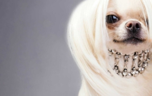 Chinese Crested Dog HD Desktop