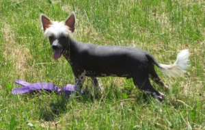 Chinese Crested Dog High Definition Wallpapers