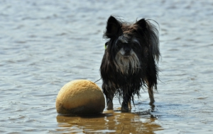 Chinese Crested Dog Full HD
