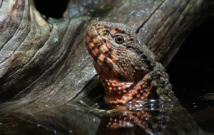 Chinese Crocodile Lizard High Quality Wallpapers