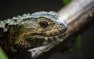 Chinese Crocodile Lizard Pictures
