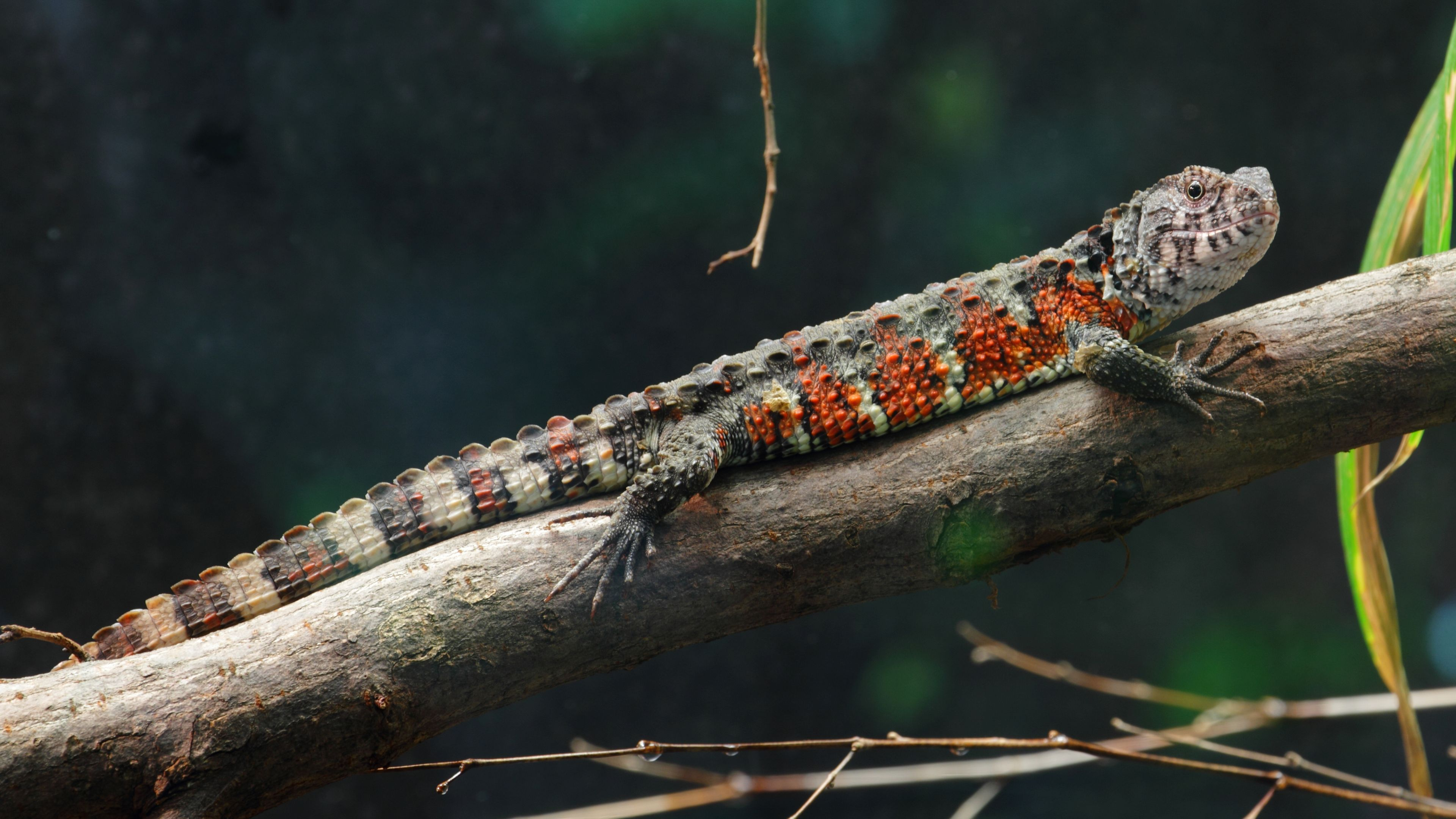 Chinese Crocodile Lizard Wallpapers Backgrounds