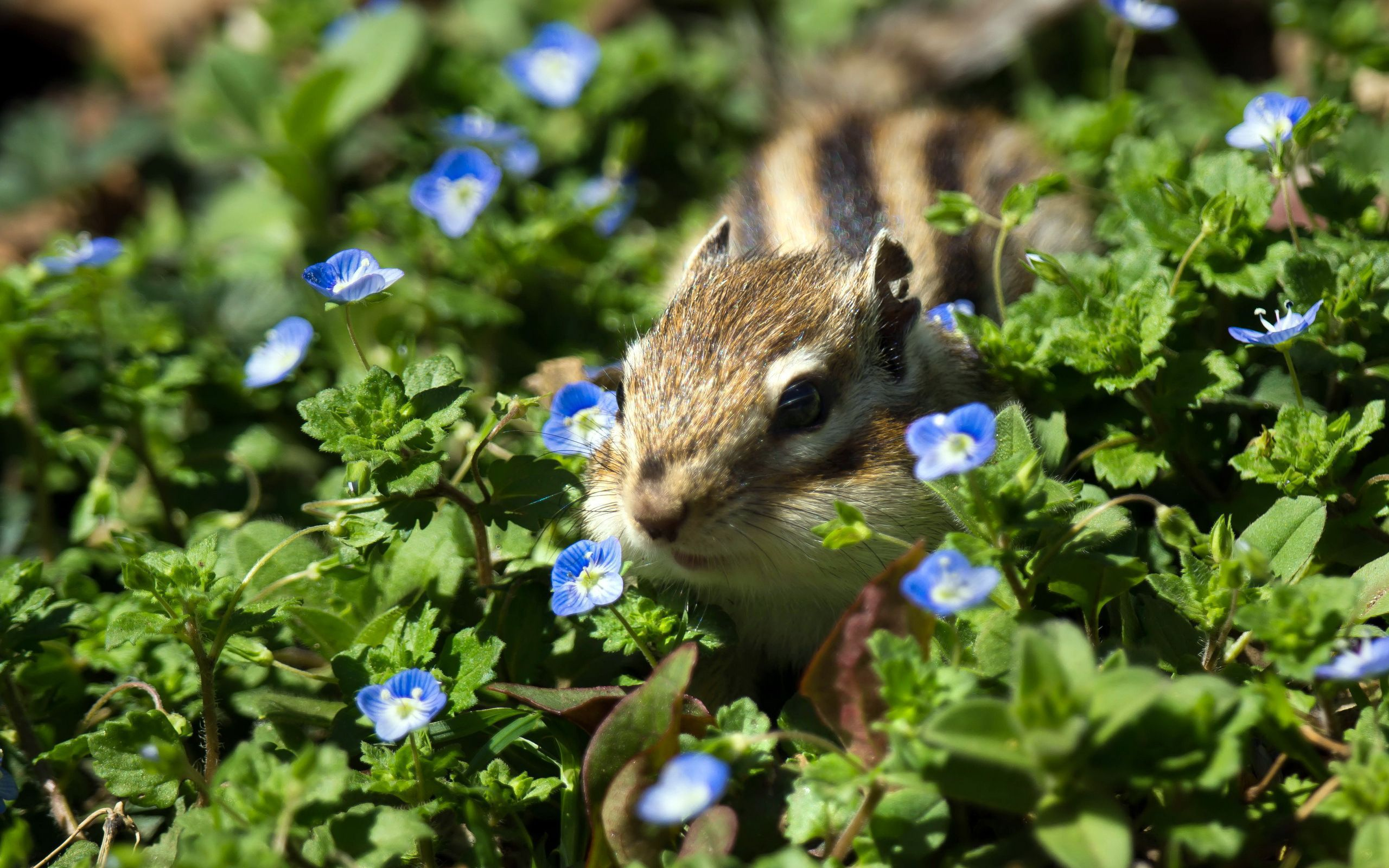 Chipmunk Wallpapers Backgrounds