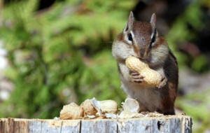 Chipmunk High Quality Wallpapers