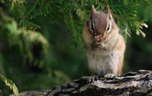 Chipmunk Photos