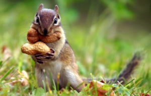Chipmunk Wallpaper