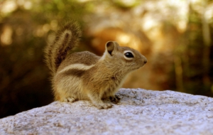 Chipmunk Wallpapers HQ