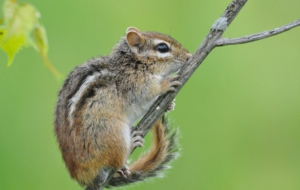 Chipmunk Full HD