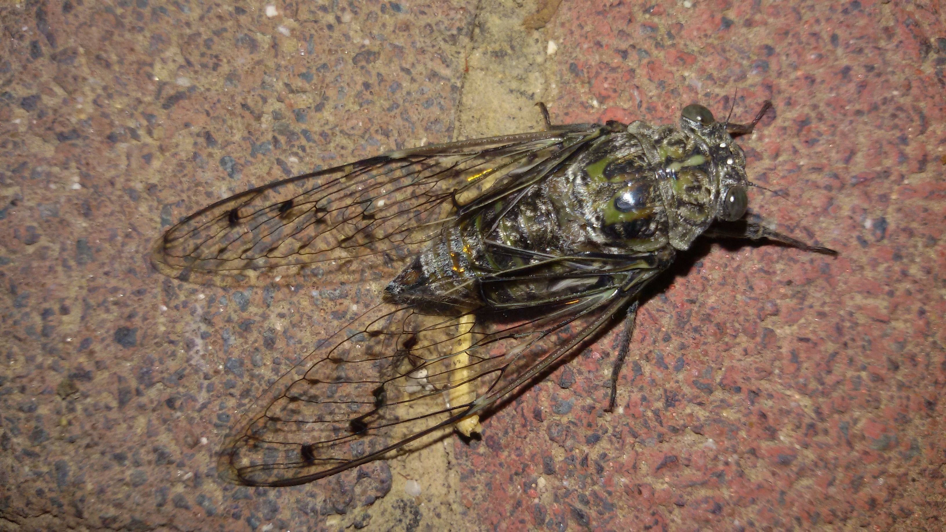Cicada Wallpapers Backgrounds
