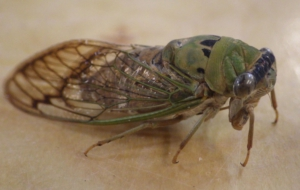 Cicada Free HD Wallpapers
