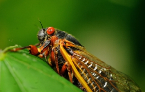 Cicada For Desktop Background