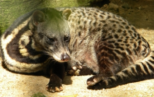 Civet High Definition Wallpapers