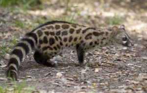 Civet Wallpaper