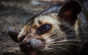 Civet Widescreen
