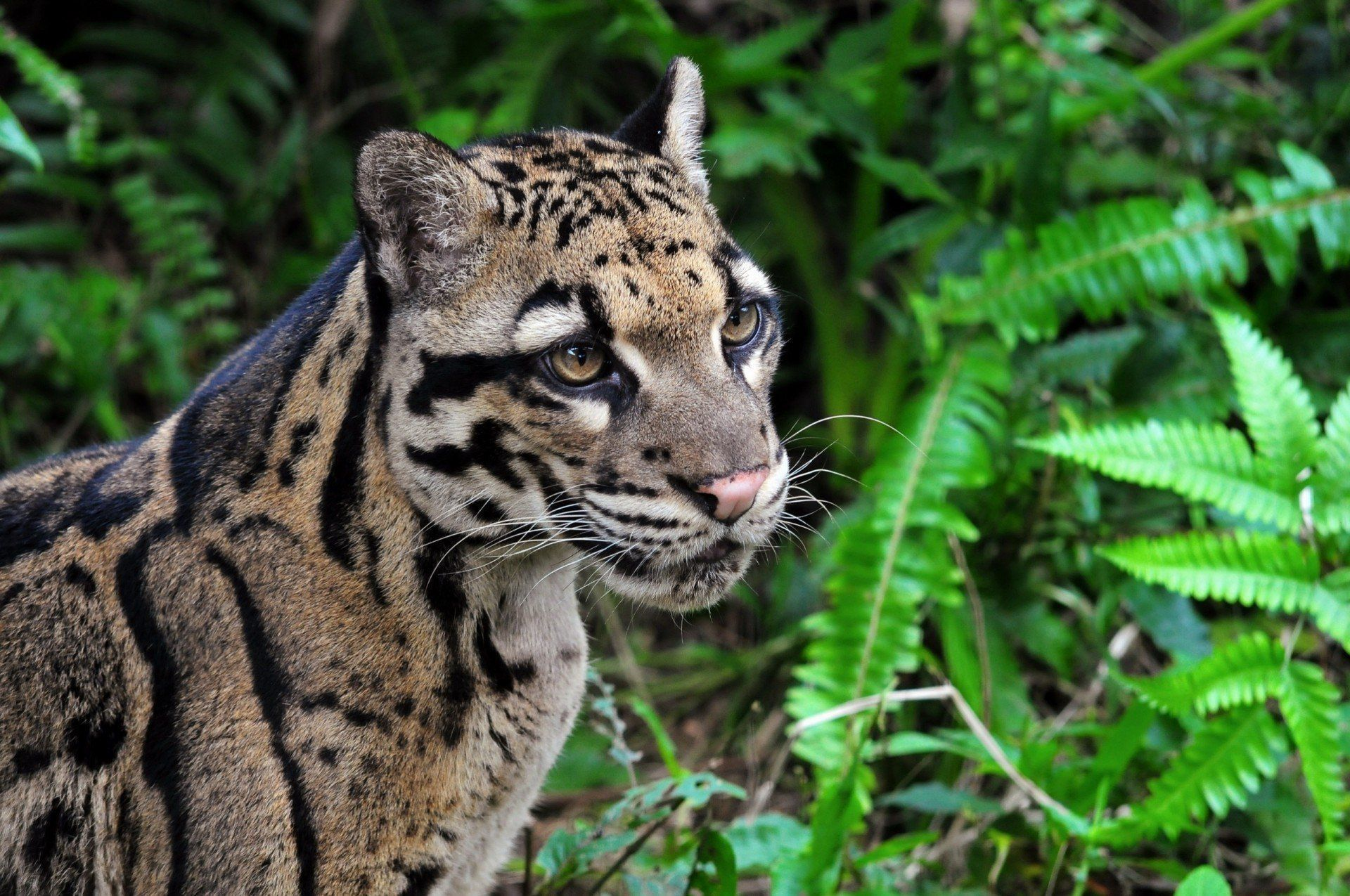 Clouded Leopard Wallpapers Backgrounds