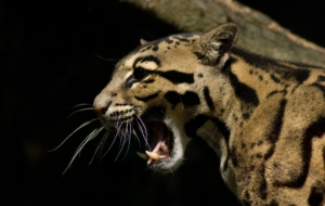 Clouded Leopard Background