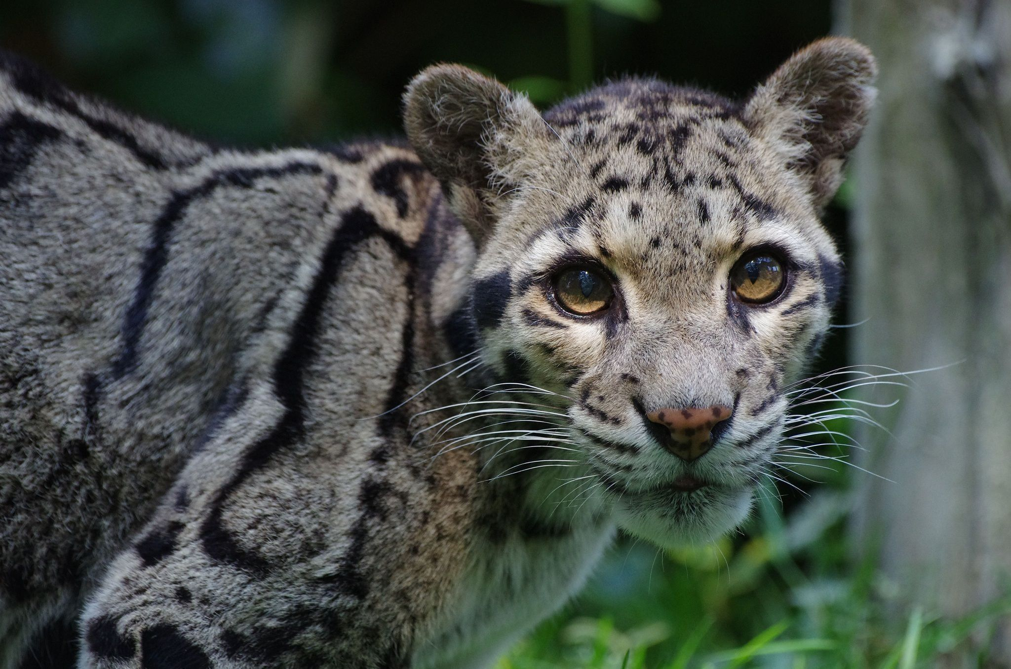clouded leopard wallpaper - photo #25