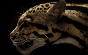 Clouded Leopard Computer Wallpaper