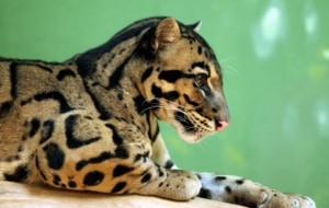 Clouded Leopard Desktop Wallpaper