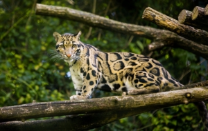 Clouded Leopard Download Free Backgrounds HD