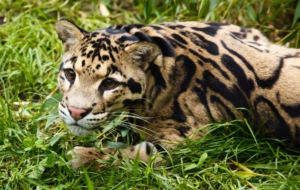 Clouded Leopard Free Download