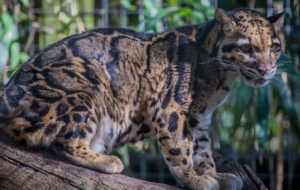 Clouded Leopard HD Background