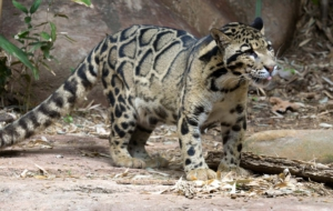 Clouded Leopard HD Pics