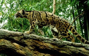 Clouded Leopard For PC