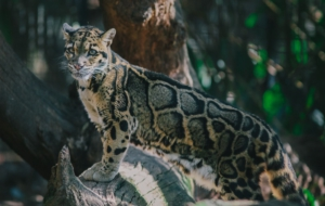 Clouded Leopard For Desktop