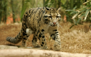 Clouded Leopard For Desktop Background