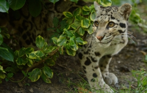 Clouded Leopard Full HD