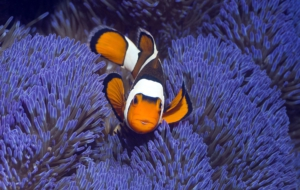 Clownfish Background