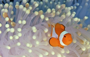Clownfish Computer Wallpaper
