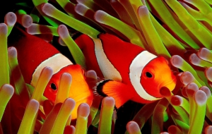Clownfish Desktop Images