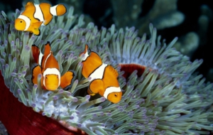 Clownfish Download