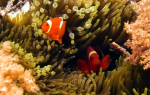 Clownfish Download Free Backgrounds HD