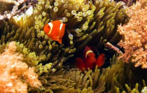 Clownfish Widescreen