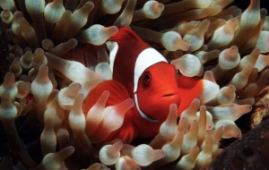 Clownfish For Desktop