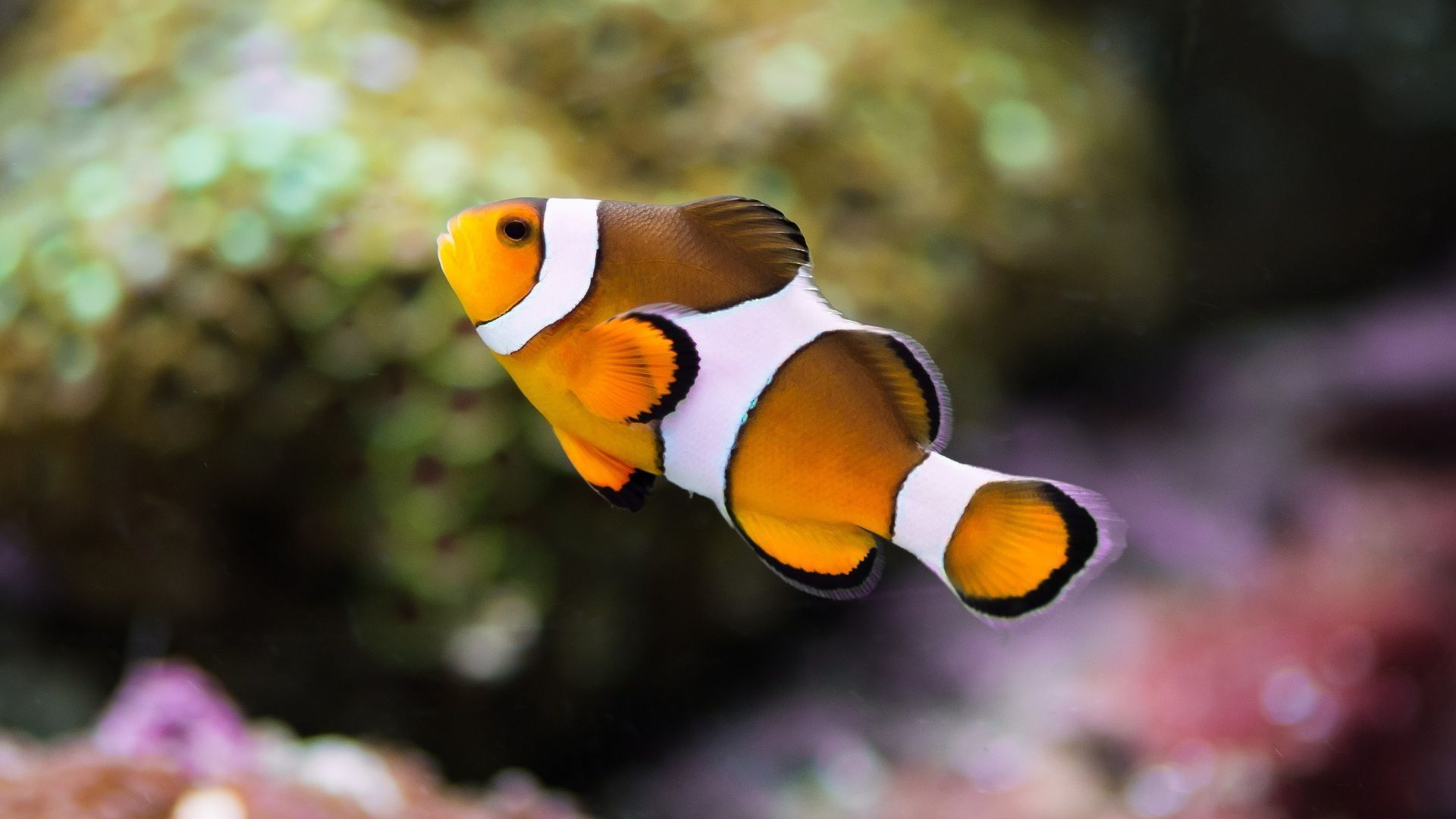 Clownfish wallpapers backgrounds for Clown fish for sale