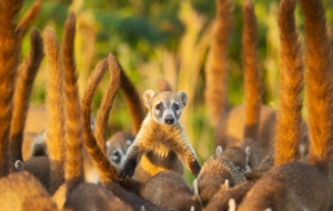 Coati Background