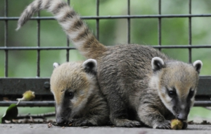 Coati Computer Backgrounds